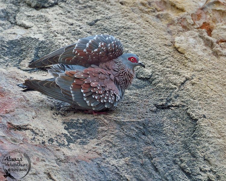 speckledpigeon001