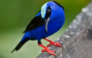 DSC5324-red-legged-honeycreeper-costa-rica