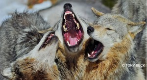 wolves-wildlife-photography