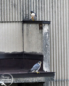 Pair of adult Peregrine Falcon