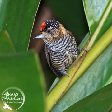 img_2_DSC7163_white-barred-piculet