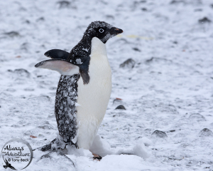 Adelie Penguin – Antarctic Peninsula