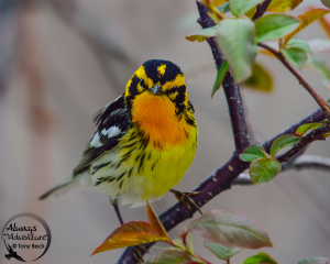 Blackburnian Warbler – Point Pelee National Park, Ontario