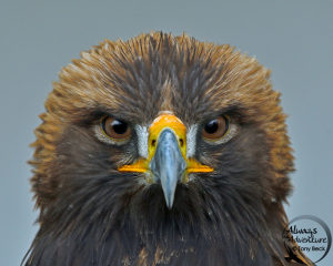 Golden Eagle (captive) – Southern Ontario