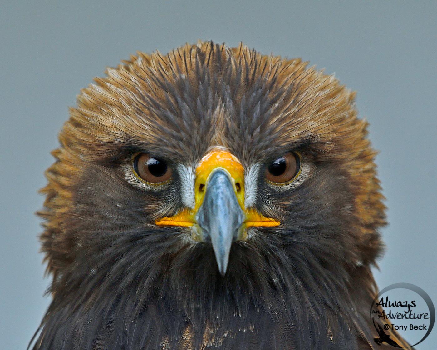Golden Eagle (captive) – Southern Ontario