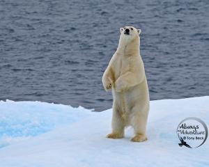 Polar Bear – Nunavut, Arctic Canada