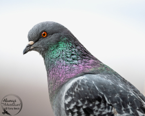 Nikon D850 with AF-S Nikkor 500mm PF ED VR f5.6  ISO 1000 - Shutter 1/640 - Aperture f6.3 While enjoying my balcony view, the wildlife is usually too far for effective photography. However, there's a handful of common birds that occasionally visit. Pigeons are the boldest of the visitors and often perch right beside me. However, I'll need some patience waiting for a Peregrine Falcon to come and feed on the pigeons. When it happens, my camera better be ready.