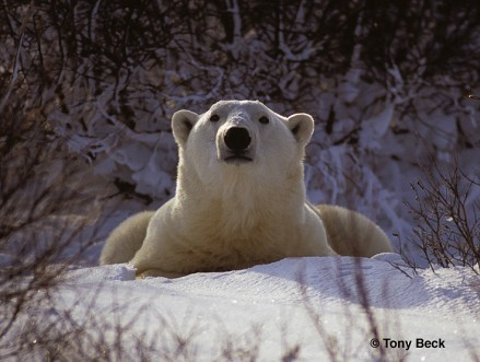 Polar Bear - another tricky exposure challenge