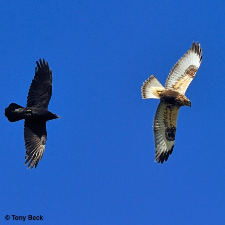 Northern Raven chasing light morph Rough-legged Hawk
